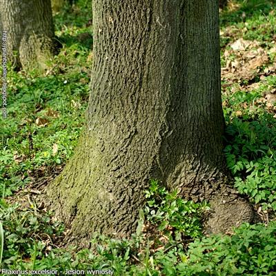 Fraxinus excelsior - Jesion wyniosły pień odziomkowy