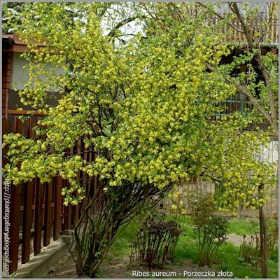 Ribes aureum - Porzeczka złota
