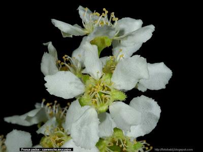Prunus padus - Czeremcha zwyczajna