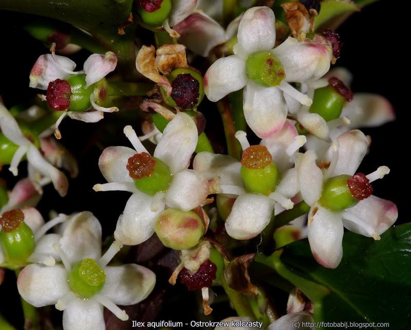 Ilex aquifolium flower - Ostrokrzew kolczasty kwiaty