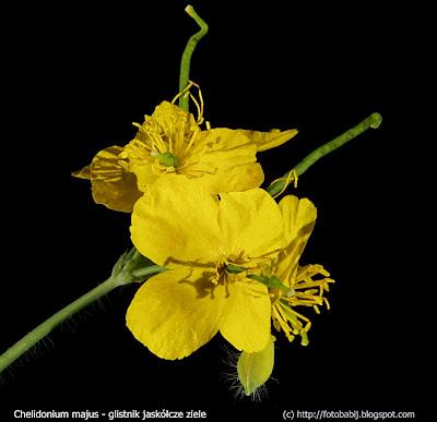 Chelidonium majus flowers - Glistnik jaskółcze ziele kwiaty
