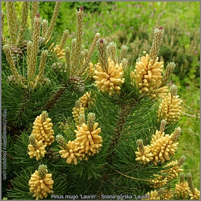 Pinus mugo 'Laurin' - Sosna górska 'Laurin'