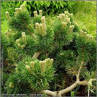 Pinus mugo 'Jakobsen' - Sosna górska 'Jakobsen'
