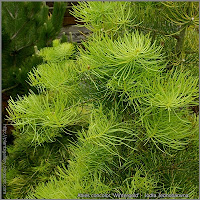 Abies concolor 'Wintergold' - Jodła Jednobarwna 'Wintergold'