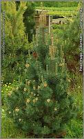 Pinus mugo 'Columnaris' - Sosna górska 'Columnaris'