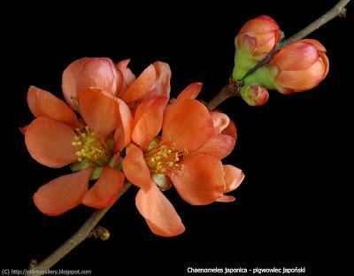 Chaenomeles japonica flower - Pigwowiec japoński kwiaty
