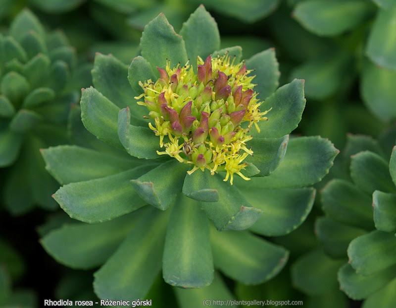 Rhodiola rosea flowers - Różeniec górski kwiaty
