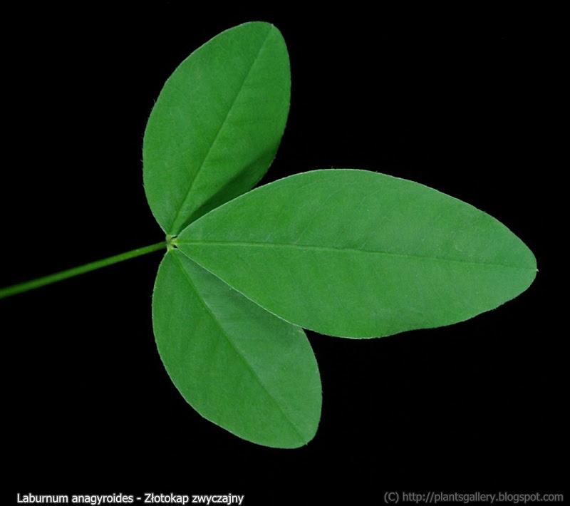 Laburnum anagyroides leaf - Złotokap zwyczajny liść