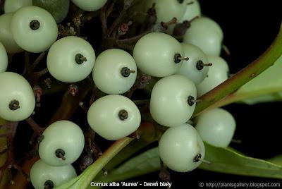 Cornus alba 'Aurea' fruit - Dereń biały 'Aurea' owoce