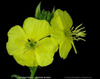 Oenothera biennis flower - Wiesiołek dwuletni kwiat