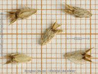 Eryngium planum seeds - Mikołajek płaskolistny nasiona