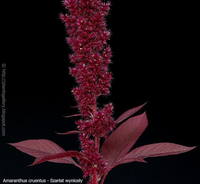 Amaranthus cruentus  fructification  leawes - Szarłat wyniosły   owocostan     liście