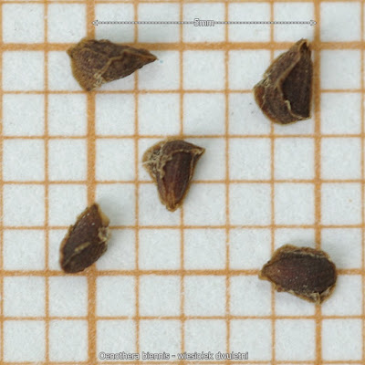 Oenothera biennis seed - Wiesiołek dwuletni nasiona