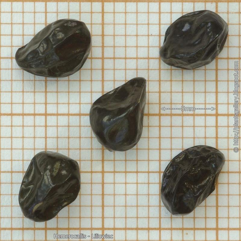 Hemerocallis seeds - Liliowiec nasiona