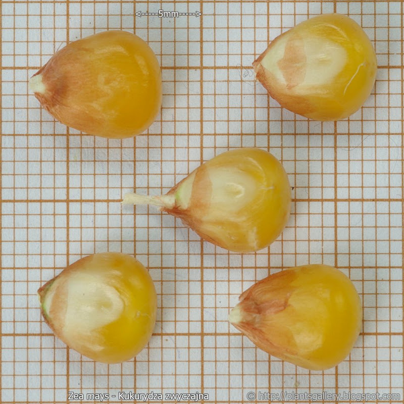 Zea mays seeds - Kukurydza zwyczajna nasiona