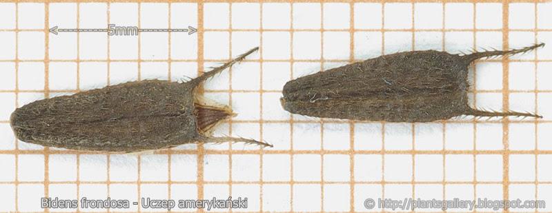 Bidens frondosa - Uczep amerykański