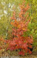 Quercus rubra autumn - Dąb czerwony jesienią