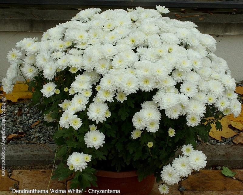 Dendranthema 'Axima White' habit - Chryzantema 'Axima White' pokrój