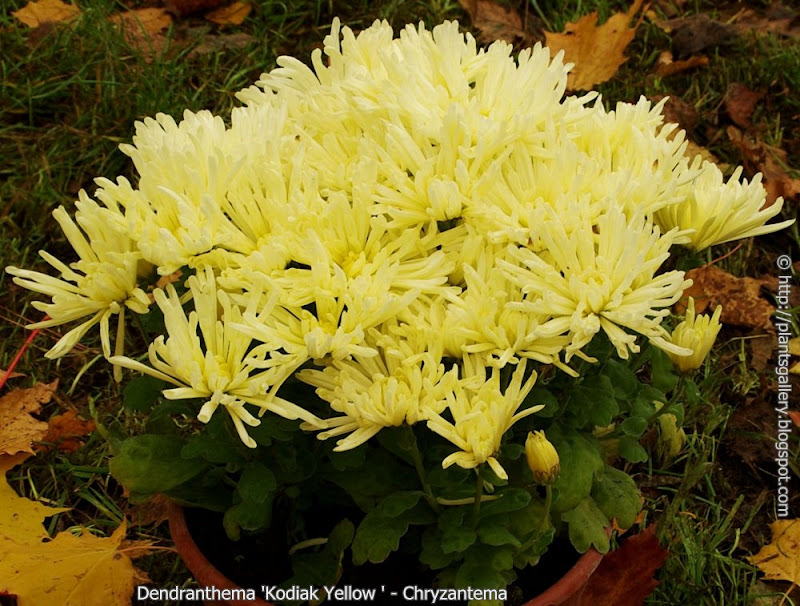 Dendranthema 'Kodiak Yellow' habit - Chryzantema 'Kodiak Yellow' pokrój