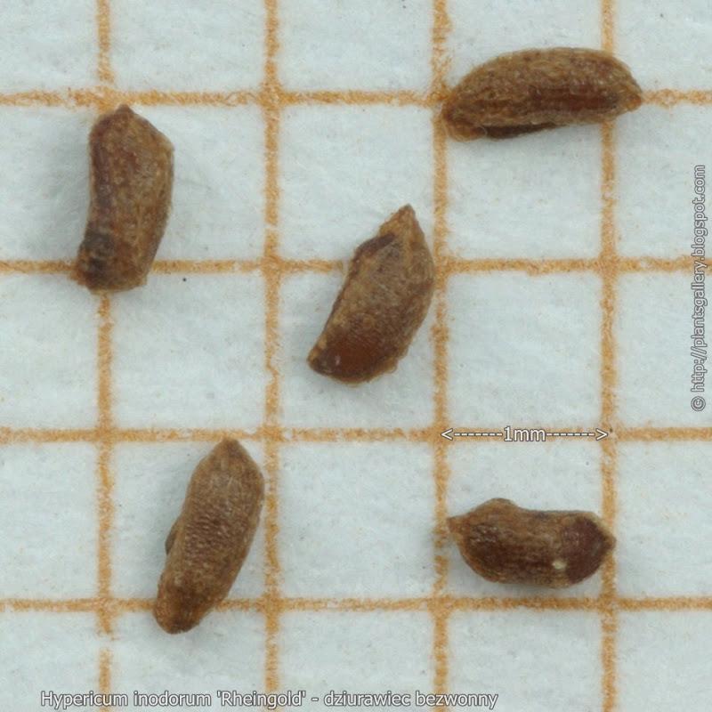 Hypericum inodorum 'Rheingold' seeds - dziurawiec bezwonny nasiona