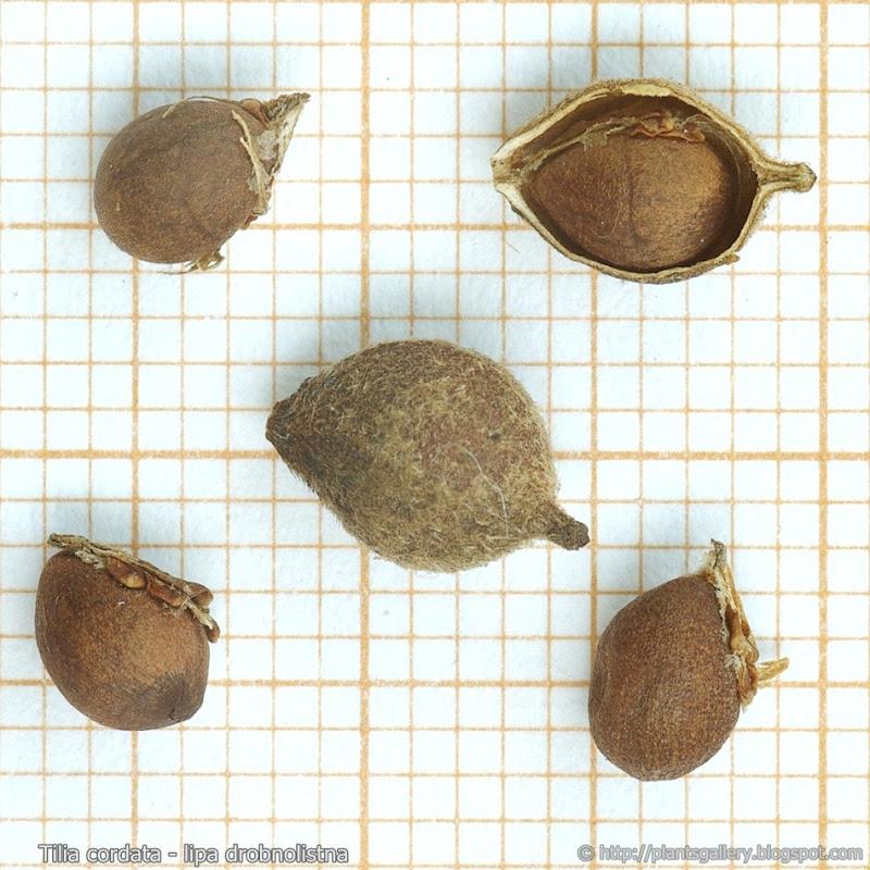Tilia cordata seeds - Lipa drobnolistna nasiona