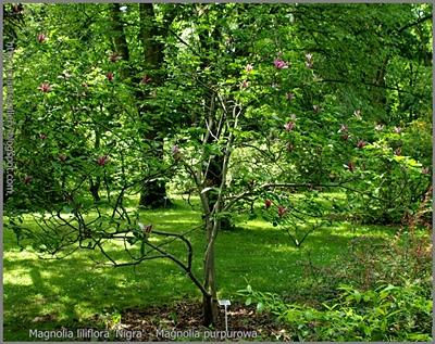 Magnolia liliflora 'Nigra' - Magnolia purpurowa 'Nigra'
