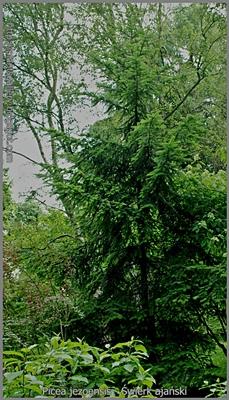 Picea jezoensis - Świerk ajański