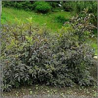 Sambucus nigra 'Guincho Purple' habit - Bez czarny 'Guincho Purple' pokrój