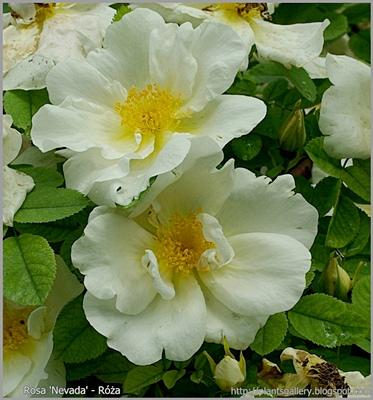 Rosa 'Nevada' - Róża 'Nevada'