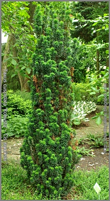 Taxus cuspidata 'Robusta' - Cis japoński 'Robusta'
