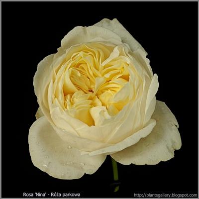 Rosa 'Nina' - Róża parkowa 'Nina'