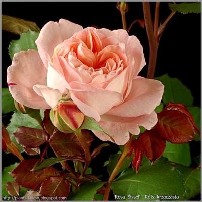 Rosa 'Sissel' - Róża krzaczasta 'Sissel'