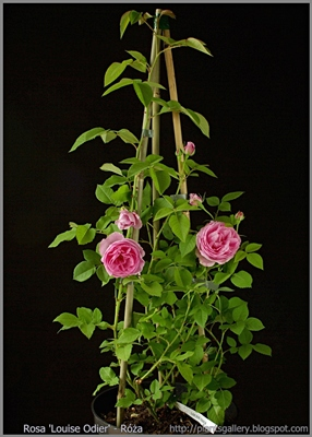 Rosa 'Louise Odier' - Róża 'Louise Odier'