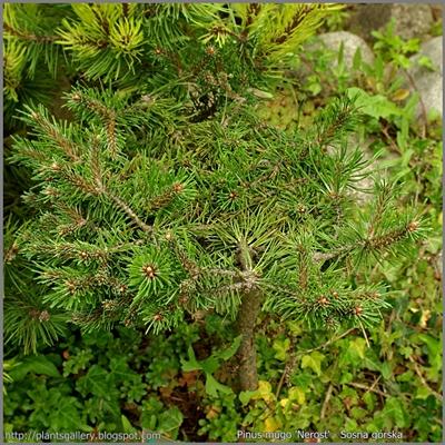Pinus mugo 'Nerost' - Sosna górska 'Nerost'