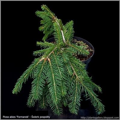 Picea abies 'Formanek' - Świerk pospolity 'Formanek'
