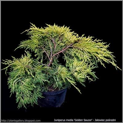 Juniperus media 'Golden Saucer' - Jałowiec pośredni 'Golden Saucer'