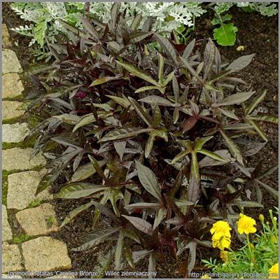 Ipomoea batatas 'Carolina Bronze' - Wilec ziemniaczany 'Carolina Bronze'