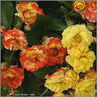 Rosa 'Rumba' - Róża 'Rumba'