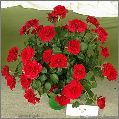 Rosa 'Doris' - Róża 'Doris'