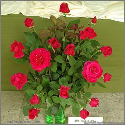 Rosa 'Mister Lincoln' - Róża 'Mister Lincoln'