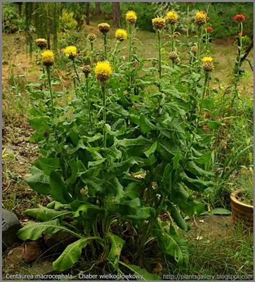 Centaurea macrocephala - Chaber wielkogłówkowy