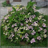 Hydrangea macrophylla 'Mariesii Perfecta' - Hortensja ogrodowa 'Mariesii Perfecta'