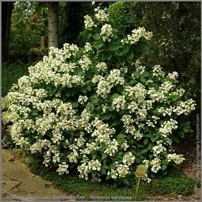 Hydrangea paniculata 'Dart's Little Dot' - Hortensja bukietowa 'Dart's Little Dot'