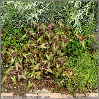 Polygonum microcephalum 'Red Dragon' - Rdest 'Red Dragon'