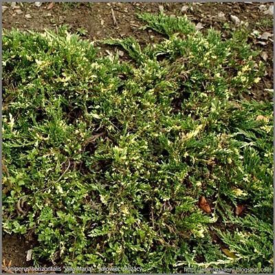 Juniperus horizontalis 'Villa Maria' - Jałowiec płożący 'Villa Maria'