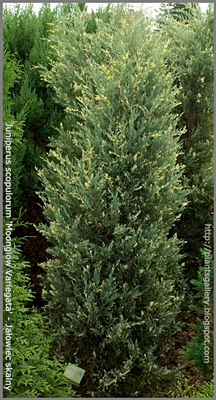 Juniperus scopulorum 'Moonglow Variegata' - Jałowiec skalny 'Moonglow Variegata'
