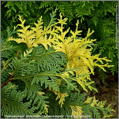 Chamaecyparis nootkatensis 'Aureovariegata' - Cyprysik nutkajski 'Aureovariegata'