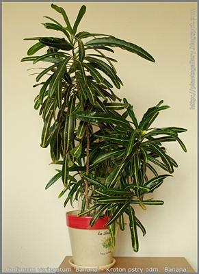 Codiaeum variegatum 'Banana' - Kroton pstry