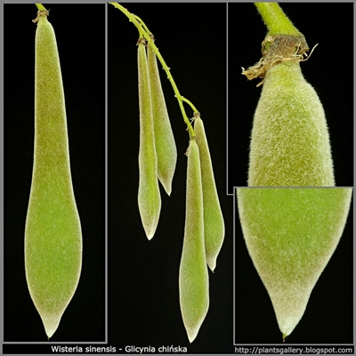 Wisteria sinensis fruit - Glicynia chińska owoce