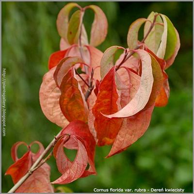 Cornus florida var. rubra - Dereń kwiecisty